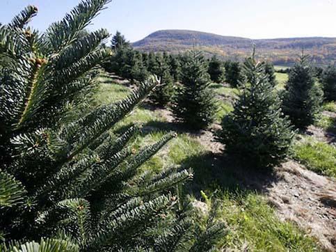 Arizona Christmas Tree Permits 2019 Prescott National Forest To Sell Christmas Tree Permits | All