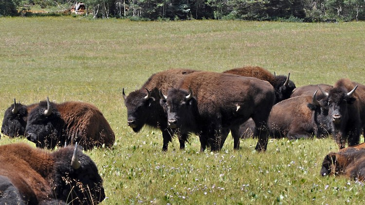 Over 50 Bison Relocated from Grand Canyon to Great Plains Tribes
