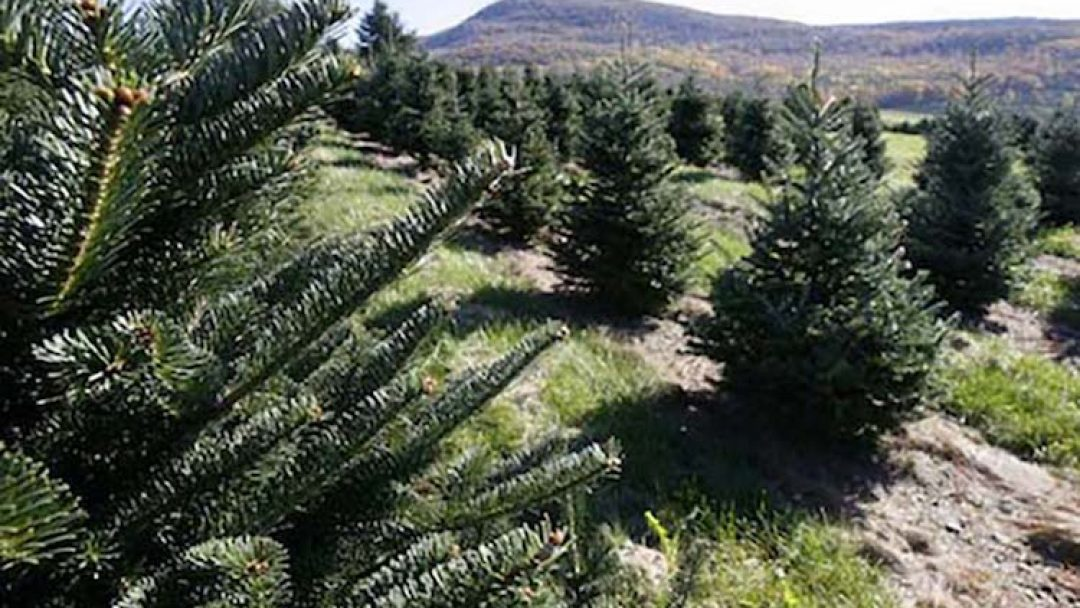 Christmas Tree Permits Arizona 2020 Tonto National Forest Announces the Sale of Christmas Tree Permits