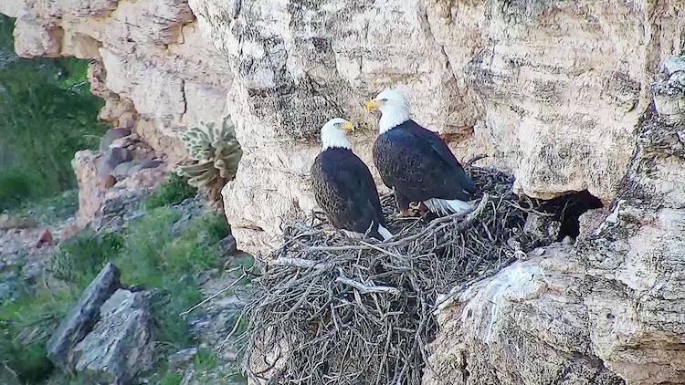 Lake Pleasant Regional Park Livestreams Bald Eagle Camera For 2nd Season