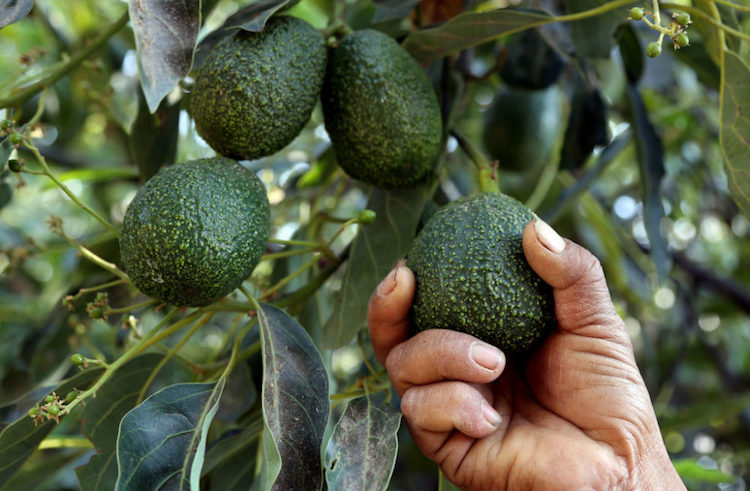 Avocado Market Taken Over By Mexican Cartels