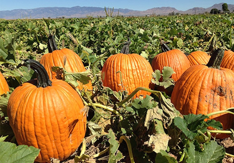 Guide to the Best Pumpkin Patches in Arizona