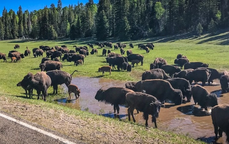 Rare Opportunity For Skilled Shooters to Help Reduce the Number of Bison in Northern Arizona