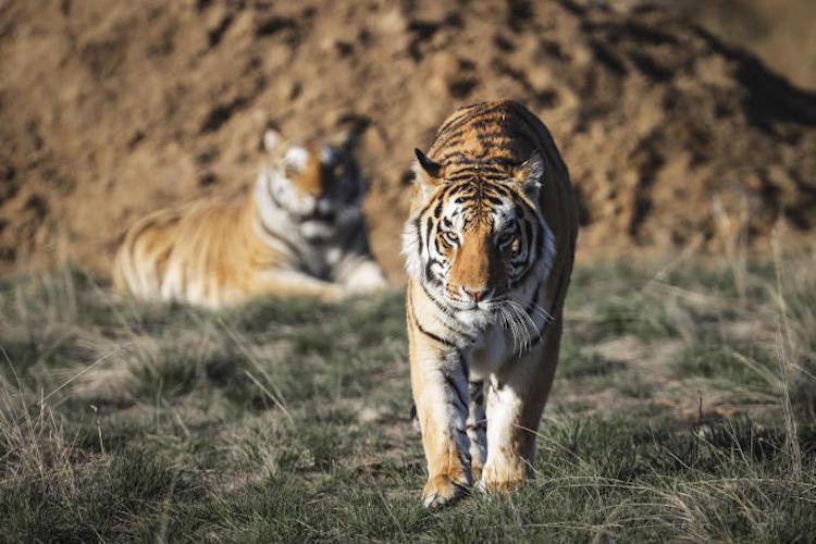 'Tiger King' Big Cats Moved to Arizona
