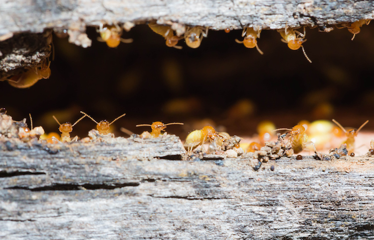 The Monsoon Storms Are Bringing Valley Homeowners An Invasion of Termites